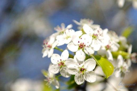 Granville Cottage Blossoms