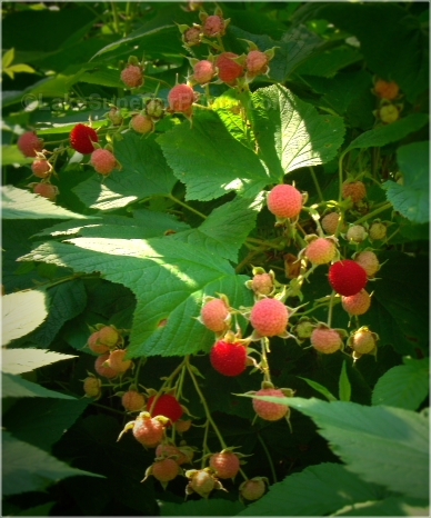Thimbleberries on Isle Royal