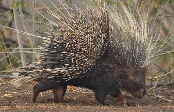 North Manitou Journal 2013 (Number 4) Porcupine for Dinner
