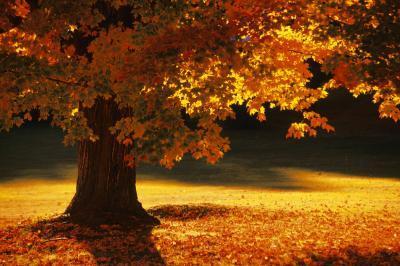 Maple-Autumn